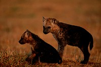 Two spotted hyena cubs (Crocuta crocuta), at sunset, side view, Mara, Kenya