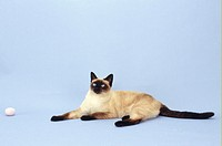 Siamese cat by ball, (Portrait)