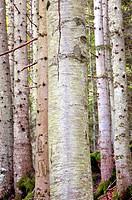 bosco martese, ceppo, abruzzo, italia