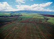 Sugar Cane Fields Near Kahului, Maui