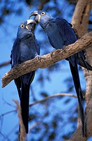 Hyacinth Macaw, Anodorhynchus hyacinthinus, Pantanal, South of Cuiaba, Mato Grosso, Brazil, South America, bird, anima
