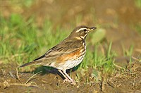 Redwing (Turdus iliacus) migrant bird on farmland Norfolk UK
