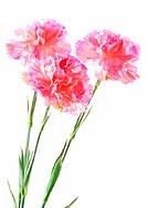 Crisp Flowers