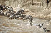Blue Wildebeest (Connochaetes taurinus) crossing Mara river, migration. Masai Mara Game Reserve. Kenya
