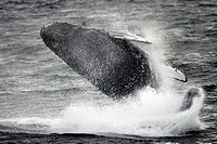 Adult Humpback Whale (Megaptera novaeangliae) breaching in Southeast Alaska, USA.