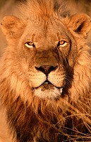 Lion (Panthera leo), captive at game farm. Namibia