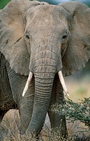 African Elephant (Loxodonta africana). Samburu W.R., Kenya