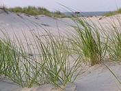 Dune grass bends in the wind at the New Jersey shore