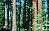 Sequoia trees in Sequoia N.P. USA