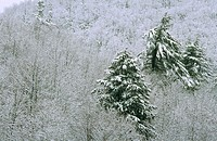Snowy trees on a mountainside, USA