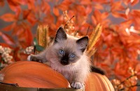 Siamese kitten playing in autumn.