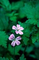 Herb Robert, Geranium robertianum.
