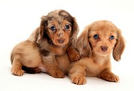 Chocolate Dapple and Cream Dapple Miniature Long-haired Dachshund pups.