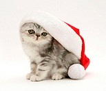 Blue-silver Exotic kitten in a Santa hat.