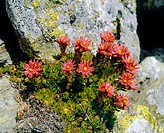 Alpin flower, Red Spider webs - amaranth, Sempervivum arachnoideum