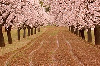 Almond trees field near Valderrobles. Teruel province. Spain