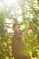 Boy picking apples (thumbnail)