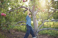 Boy hanging from an apple tree (thumbnail)