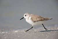 Sanderling (Calidris alba). De Soto Park beach, near Tampa, Florida, USA