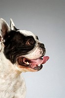 Side profile of a Boston Terrier