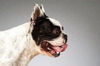 Side profile of a Boston Terrier sticking out its tongue