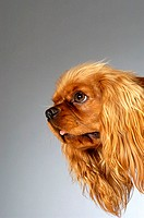 Side profile of a Cocker Spaniel
