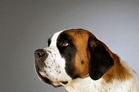 Side profile of a St. Bernard dog looking up (thumbnail)