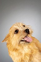 Close-up of a Yorkshire Terrier looking up