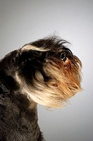 Close-up of a Schnauzer