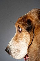 Side profile of a Basset Hound's face