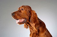 Side profile of a Cocker Spaniel's