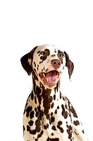 Dalmatian standing with its mouth open