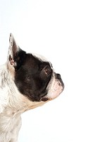 Side profile of a Boston Terrier's head