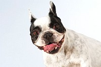 Portrait of a Boston Terrier sticking out its tongue