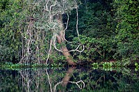 Lianas. Pantanal, the world largest wetland, Brazil, South America