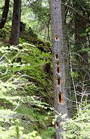 Black Woodpeckers (Dryocopus martius) working tracks in spruces. National park Hohe Tauern, Austria