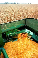 Hopper fills with corn as combine moves thru field , Clinton county , OH