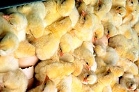 Closeup of just hatched chicks in hatchery at Halifax, North Carolina