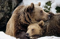 Brown near (Ursus arctos). Mother and cub. Intimity, lying in front of their den. National Park Bavarian Forest. Germany.