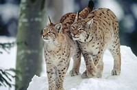 Lynx (Lynx lynx) mother and cub. Standing close together in snow. Winter. National Park Bavarian Forest. Germany
