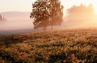 Mountains pasture with group of trees, sunrise and fog. Lower Mountain Range. National Park Sumava. Czech Republic