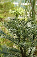 Wollemi pine tree (Wollemia nobilis) Photographed at the Royal Botanic Garden, Edinburgh. The wollemi pine is a coniferous tree in the family Araucari...