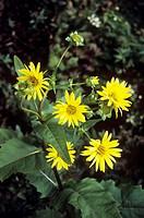 Cup plant (Silphium perfoliatum).