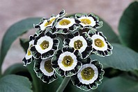 Show auricula flowers (Primula ´Serenity´).