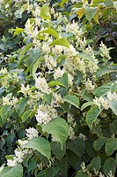 Japanese knotweed flowers (Fallopia japonica). This species was introduced to the UK in the mid- nineteenth century as an ornamental plant. It has sin...