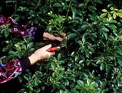 Taking cuttings. Gardener taking cuttings from a Mexican orange blossom shrub (Choisya sp.).