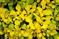 Japanese barberry foliage (Berberis thunbergii ´Aurea´).