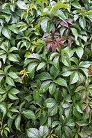 Virginia creeper (Parthenocissus quinquefolia) leaves, in its summer colours. This plant is a creeping vine, native to North America, that can grow up...