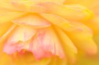 Tuberous begonia (Begonia sp.) petals.