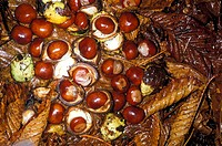 Horse chesthuts. Seeds of the Horse chestnut tree (Aesculus hippocastanum). The seeds may be ground and used as a type of edible flour. If roasted, th...